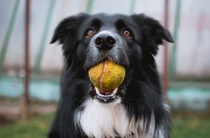 Black and white dog with old tennis ball in its mouth