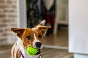 Dog chewing on a pet toy